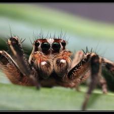 Araña saltarina II por Emilio