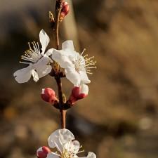 Almendros en flor en la hora dorada
