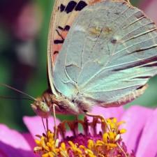 pose de mariposa