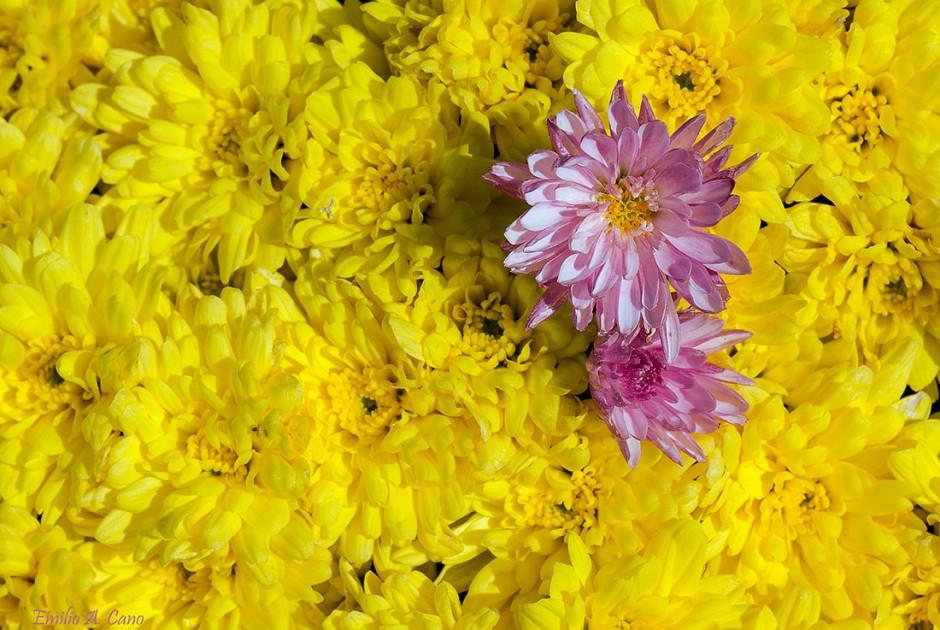 En vez de lazo rosa, una flor ... por Emilio