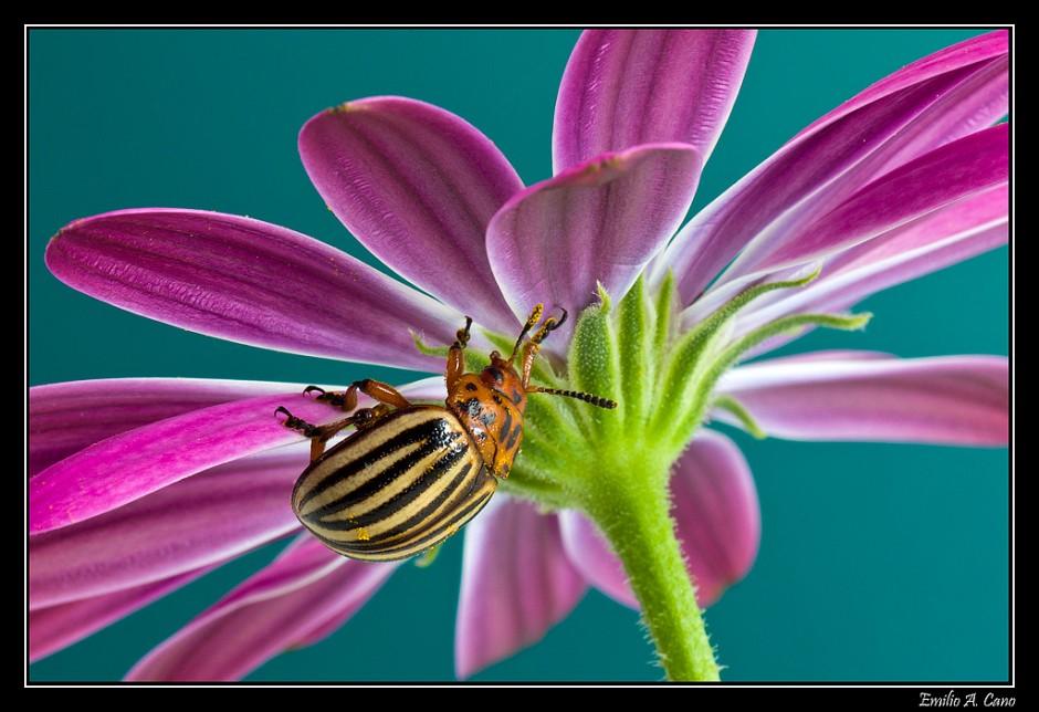 Escarabajo de la patata (Leptinotarsa decemlineata) por Emilio
