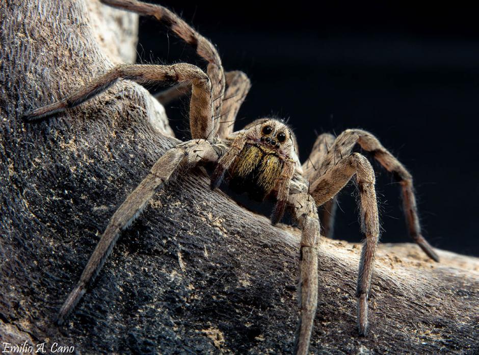 Lycosa tarantula (Tarántula mediterránea)