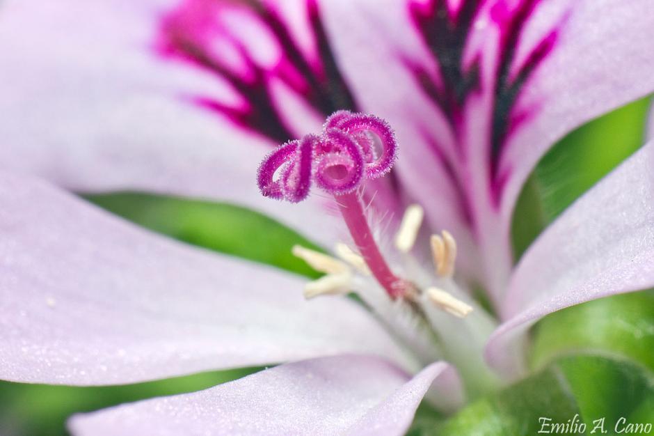 Pelargonium crispum - hembra